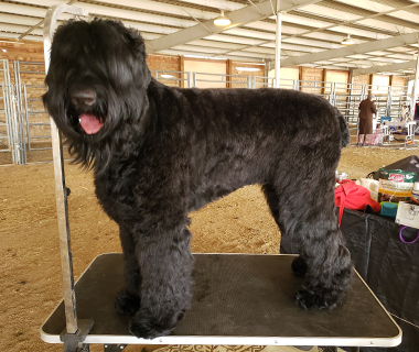 BLACK RUSSIAN TERRIERS USA